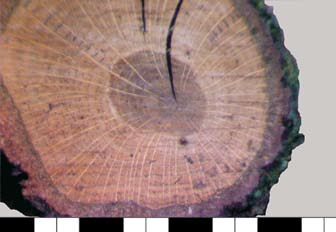 Silver birch (Betula pendula Roth). Diffuseporous wood anatomy makes the annual increments in the cross-section samples not well visible. Ryc. 2.