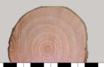English oak (Quercus robur L.) Ringporous wood anatomy makes the annual increments in the crosssection samples well visible. Ryc. 3.