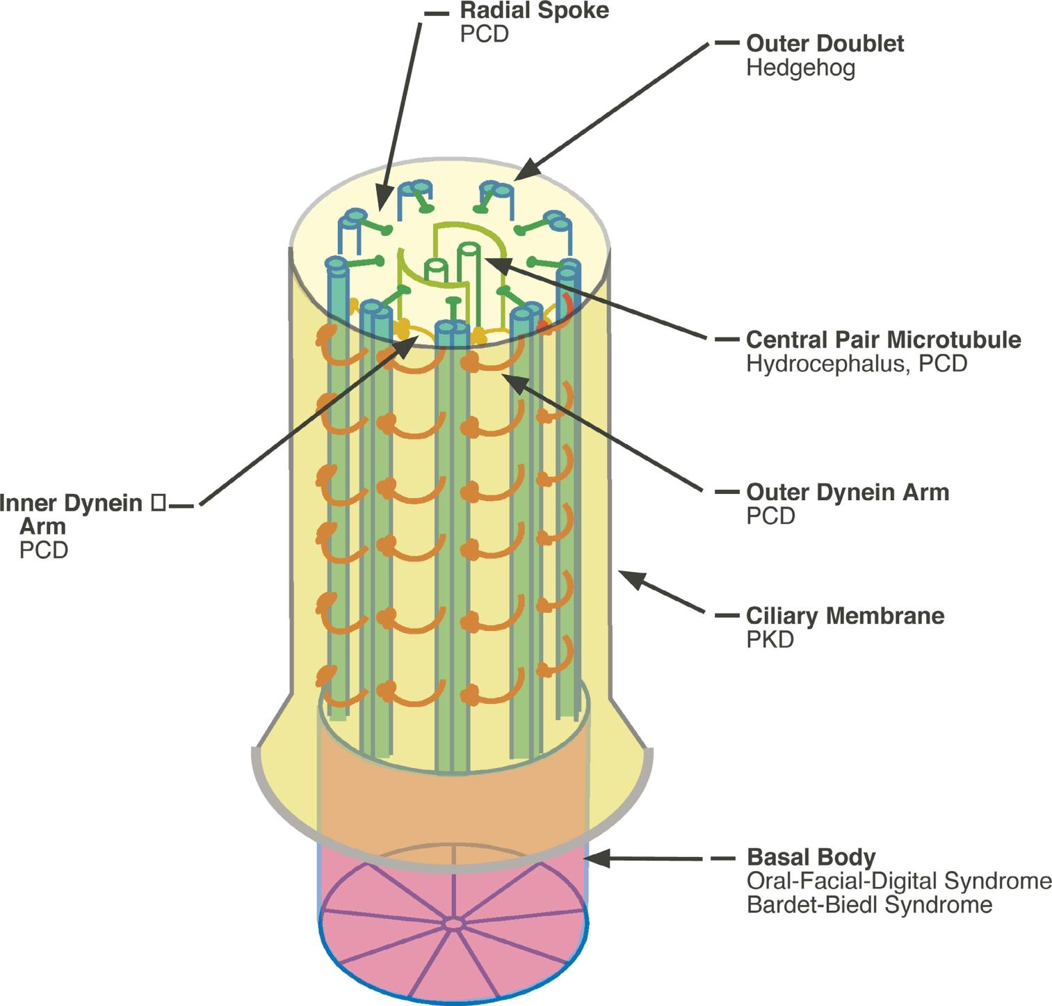 Marshall W.F. The cell biological basis of ciliary disease J Cell Biol. 2008;180(1):17-21 Burgoyne T. i wsp.