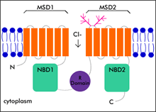 Gen CFTR MSD1 and MSD2 = membrane spanning domains 1 and 2 - domeny tworzącekanał chlorkowy R = regulatory domain NBD1 and NBD2 = nucleotide-binding