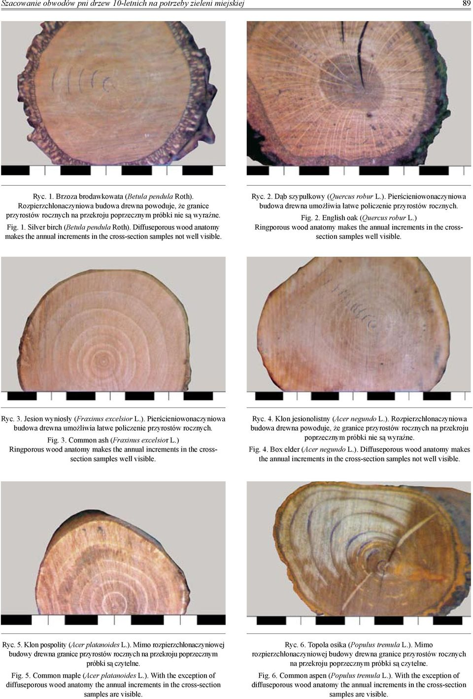 Diffuseporous wood anatomy makes the annual increments in the cross-section samples not well visible. Ryc. 2. Dąb szypułkowy (Quercus robur L.).