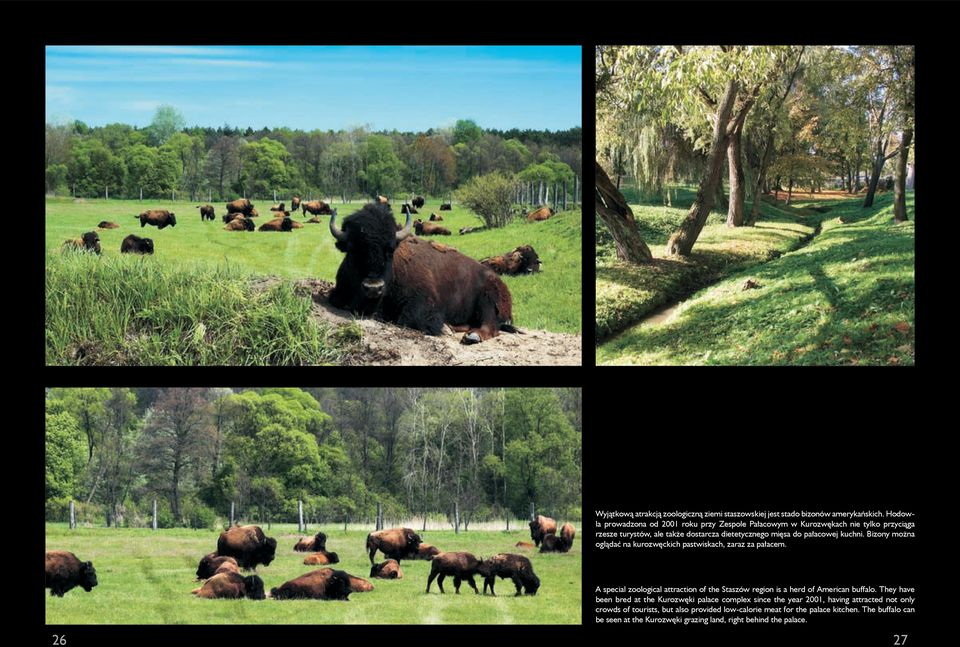 Bizony można oglądać na kurozwęckich pastwiskach, zaraz za pałacem. A special zoological attraction of the Staszów region is a herd of American buffalo.