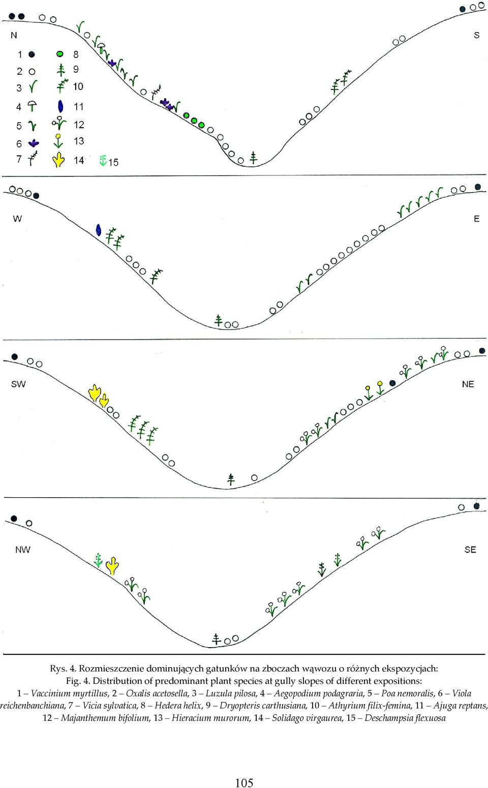 Distribution of predominant plant species at gully slopes of different expositions: 1 Vaccinium myrtillus, 2 Oxalis acetosella,
