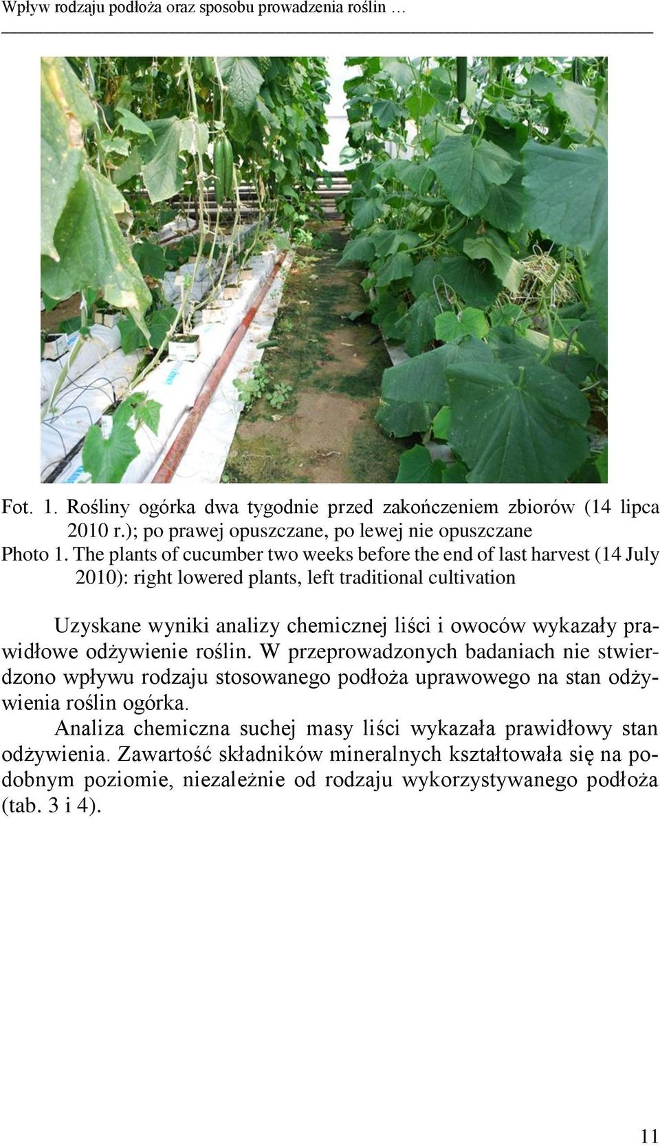 The plants of cucumber two weeks before the end of last harvest (14 July 2010): right lowered plants, left traditional cultivation Uzyskane wyniki analizy chemicznej liści i owoców