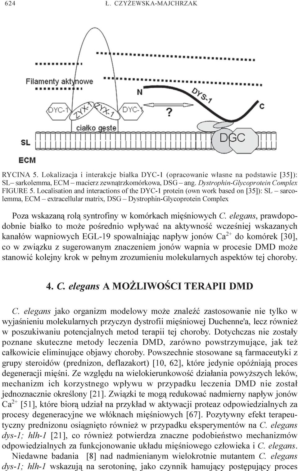 Localisation and interactions of the DYC-1 protein (own work based on [35]): SL sarcolemma, ECM extracellular matrix, DSG Dystrophin-Glycoprotein Complex Poza wskazan¹ rol¹ syntrofiny w komórkach