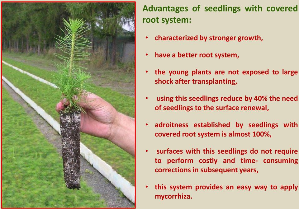 surface renewal, adroitness established by seedlings with covered root system is almost 100%, surfaces with this seedlings do