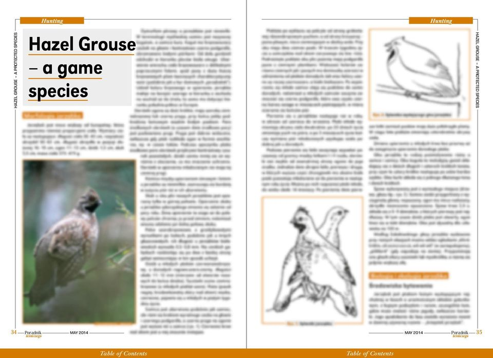 Grouse a game species HAZEL