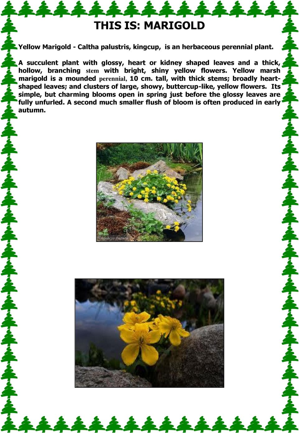 Yellow marsh marigold is a mounded perennial, 10 cm.