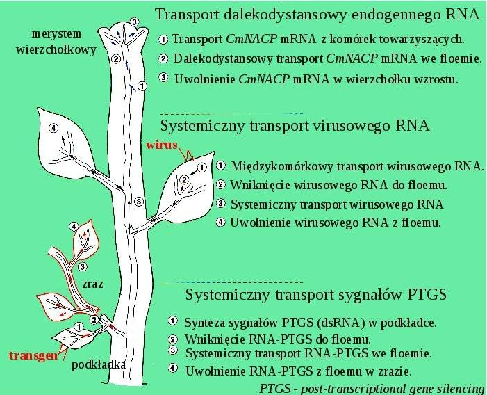 Transport RNA we floemie