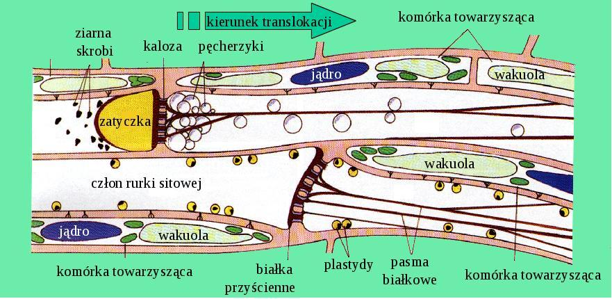 Mechanizmy obronne floemu